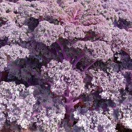 Скарлет F1 семена капусты листовой (Moravoseed)