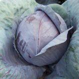 Модерат F1 семена капусты к/к среднепоздней 115-125 дн. 2-3 кг окр. (Moravoseed)