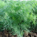 Оливер семена укропа (Moravoseed)
