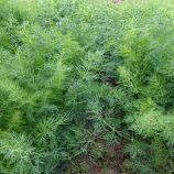 Монарх семена укропа (Moravoseed)