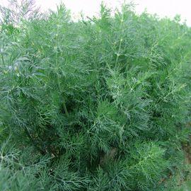 Мораван (Татран) семена укропа 35-40дн. (Moravoseed)