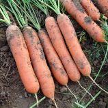 Марион F1 семена моркови Нантес (Moravoseed)