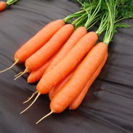 Дарина семена моркови Берликум поздней 140-150 дн (Moravoseed)