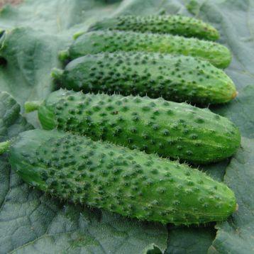 семена огурца алое f1