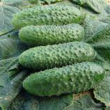 семена огурца алгамбра f1