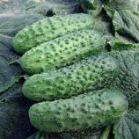 семена огурца алице f1