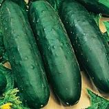 Рамзес F1 насіння огірка партенокарп. (Moravoseed)