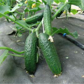 семена огурца толстой f1