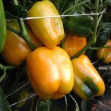 Мистери семена перца сладкого тип Блочный раннего 80-90 дн. 220-240 гр. 13х11 см 6-8 мм зел./желт. (Moravoseed)
