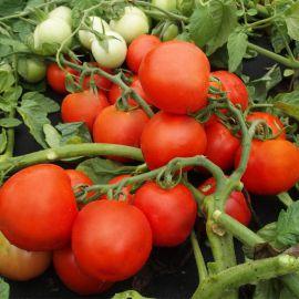 Далимил насіння томату дет. среднеранн. дкр. (Moravoseed)