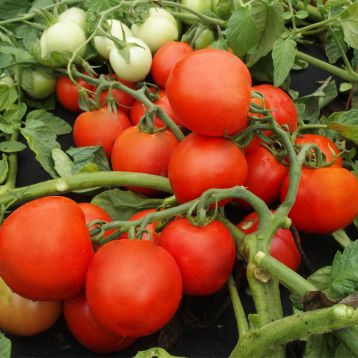 Далимил семена томата дет. среднеранн. окр. (Moravoseed)