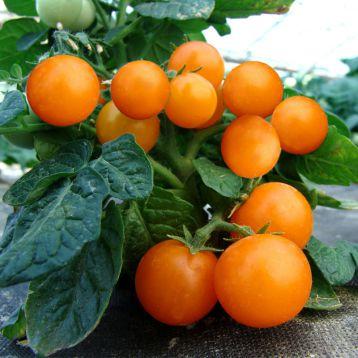 Венус семена томата дет. желтого черри (Moravoseed)