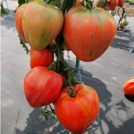 Геродес семена томата индет. розового (Moravoseed)