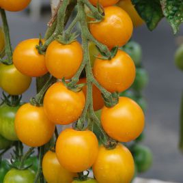 Голдкроне семена томата индет. раннего 90-100 дн. желт. 15-20 гр. (Moravoseed)
