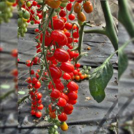 Мандат F1 семена томата дет. черри раннего слив. 10-15 гр. (Moravoseed)