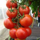 Педро F1 семена томата индет. (Moravoseed)
