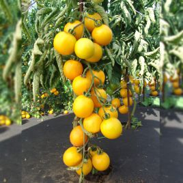 Ромус семена томата индет. желтого (Moravoseed)