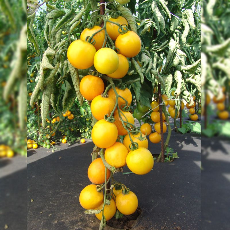 чудовищные жертвы томаты ромус отзывы и фото выбрать влагозащищенные