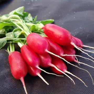 Форум семена редиса (Moravoseed)