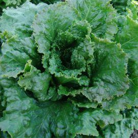 Геркулес (Кутз) семена салата тип Батавия среднепозднего 65-75 дн. зел. (Moravoseed)