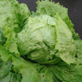 Камелот семена салата тип Батавия позднего 80-90 дн. зел. (Moravoseed)