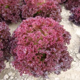 Николай семена салата тип Лолло Росса среднераннего 60-70 дн. красн. (Moravoseed)