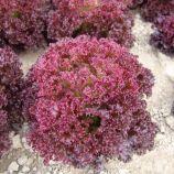 Николай семена салата тип Лолло Росса среднераннего 50-55 дн. красн. (Moravoseed)