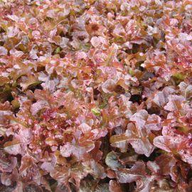 Редин (Робин) семена салата тип Дуболистный 50-55 дн. красн. (Moravoseed)