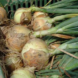 Августа семена лука репчатого озимого (Moravoseed)