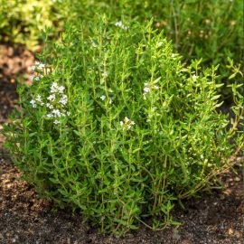 Тимьян семена тимьяна (Semo)