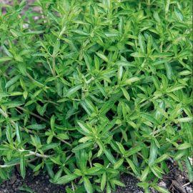 Монтана семена чабера зимнего (SEMO)