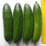 Бейбі F1 насіння огірка партенокарпіч. 35-40 дн. (Semo)