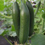 Эмили F1 семена огурца партенокарп. раннего 35-40 дн. 16 см (Semo)