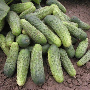 семена огурца бара f1