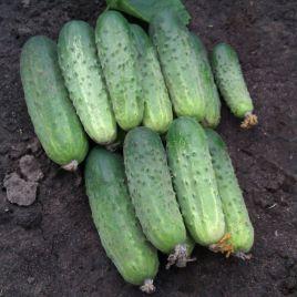 семена огурца бланка f1