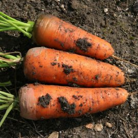 Шамарэ семена моркови Шантане (Semo)