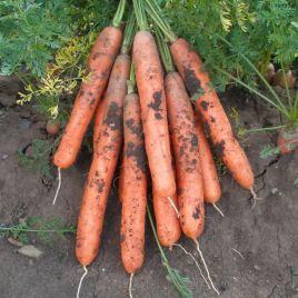 Ярана F1 семена моркови Нантес (Semo)