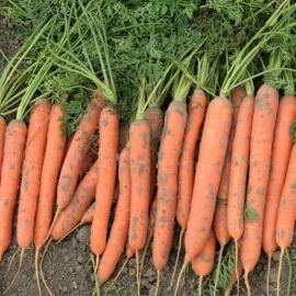 Ярана F1 семена моркови Нантес ранней 90-100 дн. (Semo)