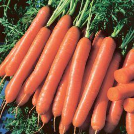 Йолана F1 семена моркови Нантес среднеранней 90-100 дн. (Semo)