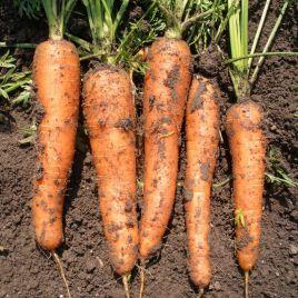 Каротина семена моркови Нантес (Semo)