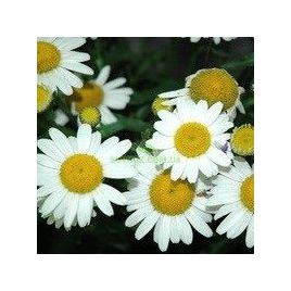 Лазер White семена ромашки (Kitano Seeds) НЕТ СЕМЯН