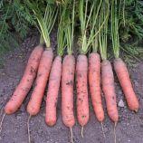 Краска семена моркови Берликум (Semo)