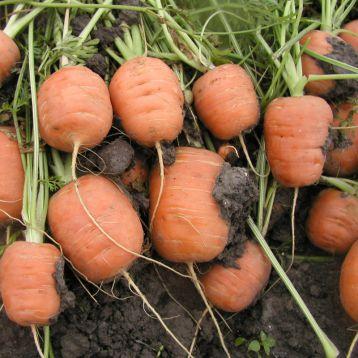 Рондо семена моркови Берликум Парижский маркет (Semo)