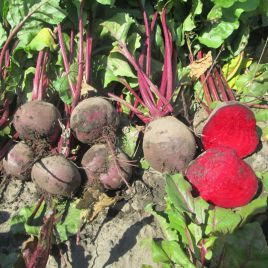 Бетина семена свеклы столовой (Semo)