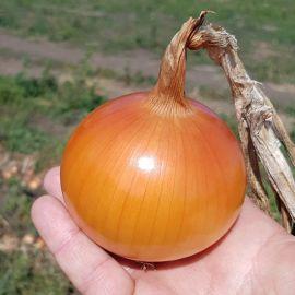 КС 765 F1 (KS 765 F1) семена лука репчатого 120-125 дн. желт. (Kitano Seeds)