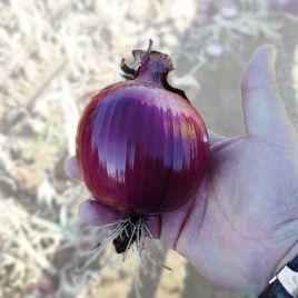 КС 711 F1 (KS 711 F1) семена лука репчатого красн. (Kitano Seeds)
