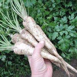 Эфез семена петрушки корневой (Semo)