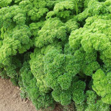 Кадерава семена петрушки кудрявой (Semo)