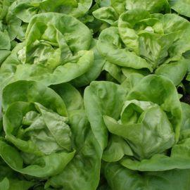 Неферин семена салата тип Маслянистый зел. (Semo)