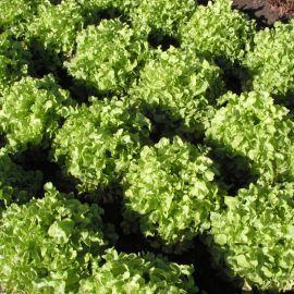 Дубаголд семена салата тип Дуболистный св.-зел. (Semo)